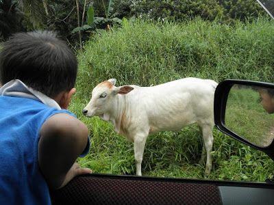 Contoh Teka Teki Dia Lembu Tapi Bukan Lembu Yang Terbaik Untuk Ibubapa