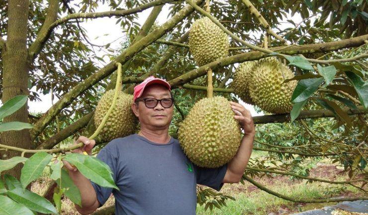 seorang pemilik kebun durian di wilayah tak thaiand telah melelong sebiji durian gergasi seberat 18 kilogram kg