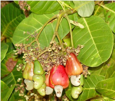 kala muda berwarna hijau dan bertukar merah atau kuning bila dah matang mngikut jenisnya sedap dimakan begitu saja atau dimasak pajri
