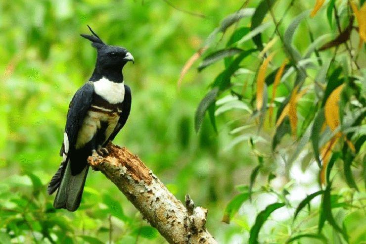 burung baza hitam