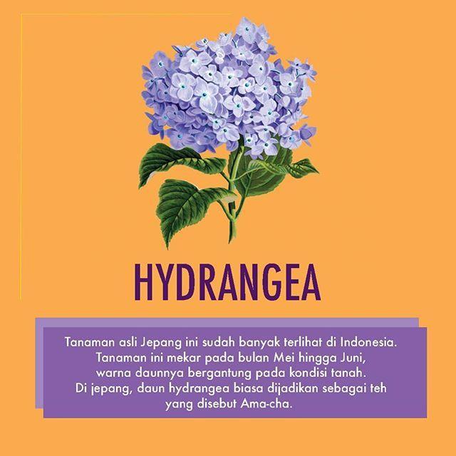 hydrangea ternyata bisa berubah warna sesuai kondisi tanah loh sudah coba menanam tanaman ini